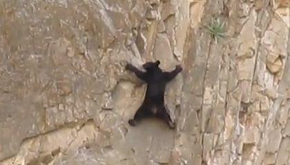 bear climbing, bears climbing, video of bear climbing, bear climbing video, Bear climb cliff. Photo: Youtube