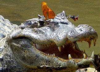 amazing animal behavior: Butterfly and bees drinking crocodile tears, amazing animal behavior: Butterfly and bees drinking caima, tears. Amazing Animal Behavior: These Butterflies Rely on Turtle Tears to Survive, Butterfly and bees drinking crocodile tears., Butterfly and bees drinking crocodile tears. Photo: Carlos de la Rosa, butterfly sips crocodile tears, butterfly eats crocodile tears, butterfly and bee eats caiman tears, butterfly and bees sips caiman tears, strange survival behavior: butterfly eats crocodile and turtle tears