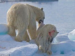 cannibal polar bears, mother polar bear eating her cub, are polar bears cannibal?, cannibal behavior of polar bears, climate change transforms polar bears into cannibals, cannibal polar bears photo, photo of cannibal polar bears, polar bears can be cannibals as shown on these pictures, Polar bear are cannibals and can even eat their cubs. Probably due to climate change and ice loss. Photo: Jenny E. Ross
