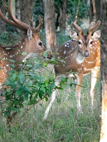 chital deer, strange chital deer, strange chital deer photo, best chital deer photo, weirdest chital deer, weirdest animal photo, strangest animal photo, unexpected animal photo, amazing animal photo, unusual animal photo, Two Chital stags (one hard, one velvet) both stags in velvet.