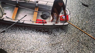 fish mass die-off, fish mass die-off marina del rey, fish mass die-off los angeles may 2014, marina del rey fish mass die-off may 17 2014, fish mayy die-off may 17 2014, fish mass die-off marina del rey may 17 2014, fish mass die-off marina del rey california may 17 2014, Mysterious fish mass die-off at Marina del Rey on May 17 2014. Photo: Beth Slepp-Paz