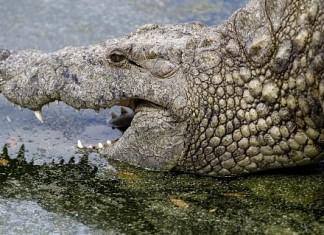 men-eating crocodiles in Uganda, Uganda monster crocodiles kill people, fishermen killed by monster crocodiles in Uganda, Lake Victoria monster crocodiles, giant crocodiles kill in Uganda, giant crocodiles in Uganda, killer crocodiles in Uganda, Giant crocodiles spread fear in Uganda. Photo: SN/ EPA