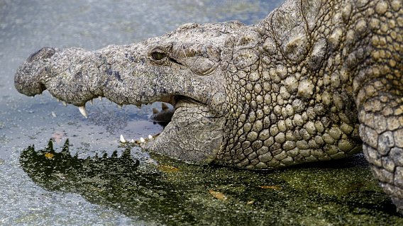 men-eating crocodiles in Uganda, Uganda monster crocodiles kill people, fishermen killed by monster crocodiles in Uganda, Lake Victoria monster crocodiles, giant crocodiles kill in Uganda, giant crocodiles in Uganda, killer crocodiles in Uganda, Giant crocodiles spread fear in Uganda. Photo: SN/ EPA