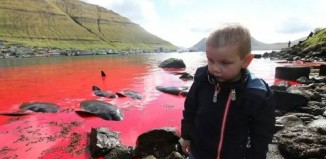 Pilot whales slaughter in Faroe Islands, Some tradition should be banned: Pilot whales killing in Faroe Islands, mass killing of pilot whales in Faroe islands, faroe islands pilot whale slaughter, faroe islands whale mass killing, mass killing whale faroe islands, faroe islands tradition: pilot whales mass killing
