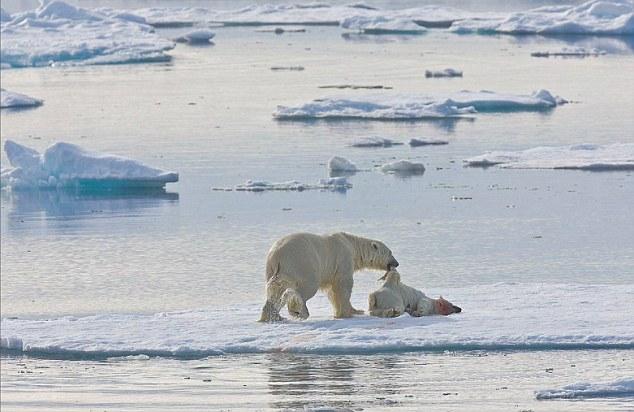 polar bears are cannibals photo, polar bears cannibalism, cannibal polar bears, polar bear strange behavior, strange animal behavior: polar bears are cannibals, Mother polar bear eating her cub. Photo: Jenny E. Ross