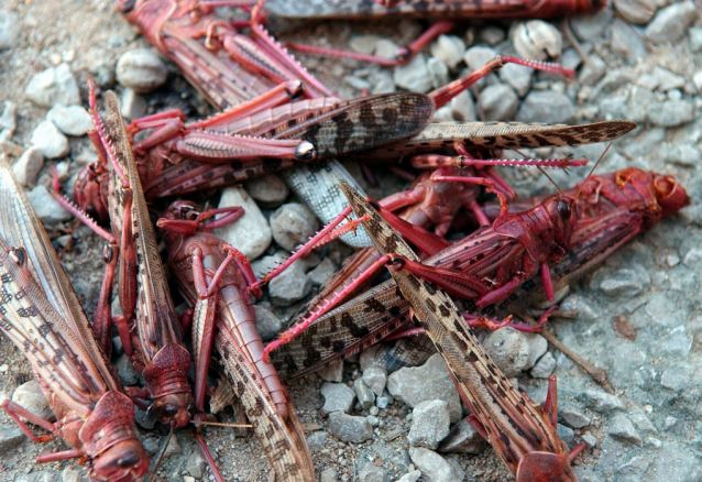 swarms of red locusts create tornado (bugnado) in the sky of Lisbon may 2014, red locust tornado lisbon may 2014, red locust bugnado in lisbon may 2014strange animal behavior: locust tornado may 2014, strange animal behavior: locust tornado (Bugnado) may 2014, strange insect behavior: bugnado or locust twister near lisbon may 2014, Bugnado in Lisbon may 2014, Is this a real tornado? No it is alive and made out of red locusts... A living bugnado! strange phenomenon: locust create huge column looking like a tornado near Lisbon may 2014, tornado of locust lisbon may 2014, locust tornado may 2014, lisbon locust tornado may 2014, strange phenomenon: locust tornado portugal may 2014, locust tornado lisbon portugal may 2014, strange animal behavior: locust tornado may 2014,