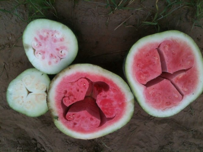 What is this weird hollow form in my watermelon?, what is this strange form in my watermelon, strange form in watermelon, weird hollow form in watermelon, weird form in watermelon: hollow heart watermelon, watermelon hollow heart, starring watermelon, water melon hollow heart, hollow heart watermelon, strange nature phenomenon: hollow heart or starring watermelon, starring watermelon photo, hollow heart watermelon photo, photo of starring watermelon, photo of hollow heart watermelon, amazing nature phenomenon, amazing fruit phenomenon, strange form in my watermelon, Several starring watermelons also known as hollow hearted watermelons. Photo: Melon Cause Insomnia