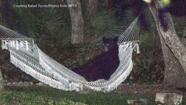 bear hammock, bear hammock daytona beach, bear hammock daytona beach may 2014, Bear chills on hammock in Daytona Beach florida on May 29 2014, Bear chills on hammock in Daytona Beach florida