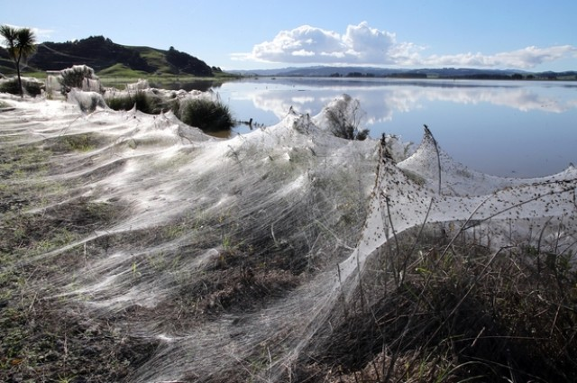Millions Of Spiders Fleeing Floods Embellish Land With Spectacular Webs in NZ, NZ floods june 2014, spider webs floods june 2014, New Zealnd farmland flooding spider web june 2014, spider webs cover landscape in New Zealnd flooded farm june 2014, amazing spider webs cover landscape in NZ june 2014, amazing animal behavior: balooning by spider after floods, strange natural phenomenon: spider webs cover ground and trees by millions of feeing spiders after floods in Australia and NZ june 2014, fleeing spiders cover with silk landscape in NZ june 2014, amazing nature phenomenon: ballooning by spiders june 2014, Millions Of Spiders Fleeing Floods Embellish Land With Spectacular Webs in NZ. Photo: John Stone, via Northern Advocate