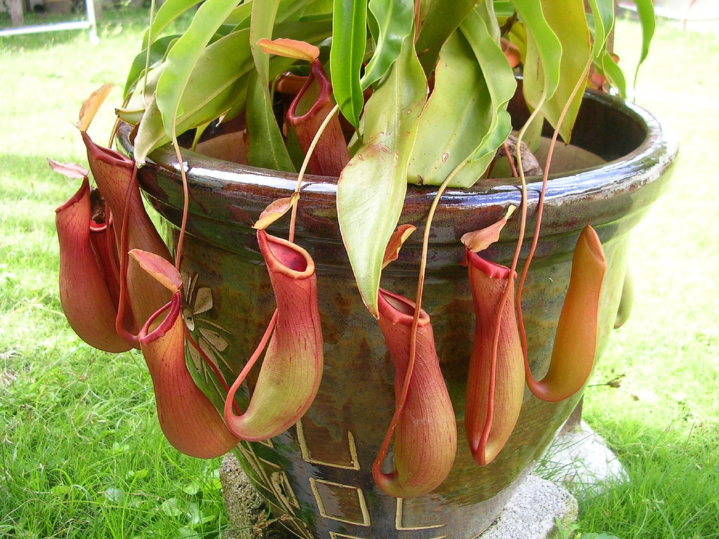 Pitcher Plant  amazing carnivorous plant video  Nepenthes PitcherCarnivorous Pitcher Plants