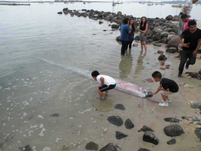 oarfish, sea serpent, mysterious oarfish found in La Paz's harbor may 2014, oarfish mexico may 2014, sea serpent mexico may 2014, oarfish la paz may 2014, dead oarfish in La paz Mexico may 2014, dead oarfish found dead in La Paz mexico may 29 2014, Oarfish la paz mexico may 29 2014, giant oarfish mexico may 2014, giant oarfish dead may 2014 mexico, oarfish found dead in La Paz (BSC) may 2014, Vara Pez Serpiente en las costas de La Paz, Se vara extraño pez serpiente de cinco metros en BCS, Un raro pez serpiente de cinco metros de longitud causó sorpresa en La Paz al vararse en el malecón del puerto