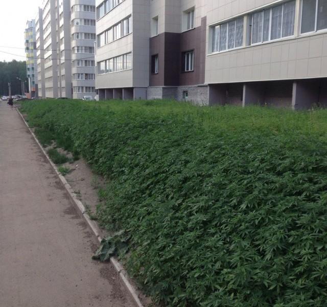 These Guys Planted The Wrong Type Of Weed In Krasnoyarsk, Ganja in front of buildings in Krasnoyarsk... Free smocking in Russia! Photo: English Russia, weed planted in front of habitation in russia, community workers plant pot (ganja) Krasnoyarsk, pot planted in streets of Krasnoyarsk, wrong weed in Krasnoyarsk