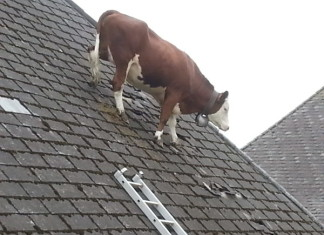 strange moment cow is photographed on roof in Switzerland june 2014, cow on roof, cow roof switzerland, cow roof emmental june 2014, weird animal picture, strange animal photo, weirdest animal news, strange animal photo: Cow on barn roof in Switzerland on June 16 2014, weirdest animal news: Cow on barn roof in Switzerland on June 16 2014, wtf: cow on roof in Switzerland june 2014, strangest animal location, weird animal things, strange animal behavior: WTF is this cow doing on a roof in Switzerland?, Weird Animal News: Cow on barn roof in Switzerland on June 16 2014