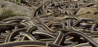The world's largest snake gathering takes place at he Narcisse Snake Dens in Manitoba, The world's largest snake gathering takes place at he Narcisse Snake Dens in Manitoba in Canada. Photo: Youtube video
