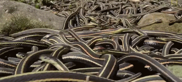 The world largest snake gathering takes place at he Narcisse Snake Dens in Manitoba, The world largest snake gathering takes place at he Narcisse Snake Dens in Manitoba in Canada. Photo: Youtube video, World's Largest Snake Gathering: The Narcisse Snake Dens in Manitoba, World's Largest Gathering of Snakes, snake gathering manitoba, amazing snake gathering canada, largest snake gathering in the world in Manitoba, video largest snake gathering manitoba canada, World's Largest Gathering of Snakes video, Narcisse Snake Dens in Manitoba, Amazing Video: Inside the World's Largest Gathering of Snakes, The largest concentration of snakes in the world is at the Narcisse Snake Dens in Manitoba, venture into a pit of 75,000 red-sided garter snakes, thousands of snakes gather at the Narcisse Snake Dens in Manitoba, The world's largest snake gathering takes place at he Narcisse Snake Dens in Manitoba, The world's largest snake gathering takes place at he Narcisse Snake Dens in Manitoba in Canada. Photo: Youtube video