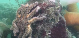 Zombie Sea Stars San Diego, zombie sea star, sea star mass die-off san diego, mysterious disease sea star killing california, sea star mysterious disease san diego june 2014, A mysterious disease is killing sea stars around San Diego. Photo: Video, mystery sea star illness, mystery sea star die-off san diego, sea star mass die-off, sea star mass die-of San Diego, san diego sea stars killed by mysterious disease, mysterious diseasekills sea stars in San Diego, mass die-off news, sea star mass die-off san diego june 2014, Zombie Sea Stars San Diego