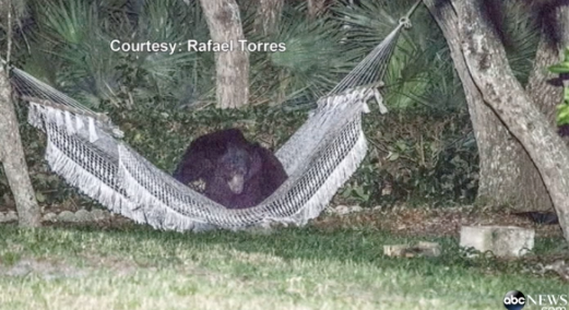 bear hammock florida may 2014, daytona beach chilling hammock bear, hammock bear in daytona beach may 2014, Strange animal behavior: Bear chills in hammock in Daytona Beach backyard