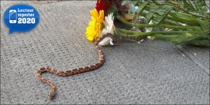 weird news: snake in flowers in Geneva, wtf news: corn snake hides in flower, snake flower geneva may 2014, wtf news: snake in flowers bouquet switzerland may 2014, weird news: snake in flowers switzerland may 2014, snake hides in flowers in geneva, strange news: snake hidden in flowers in Geneva, snake frightens customer in retailer flowers, freshly bought flower contains snake in Geneva, Unexpected rendez-vous: Corn snake hidden in flowers in Geneva, Switzerland. Photo: 20minutes.ch, corn snake hidden in flowers in Switzerland