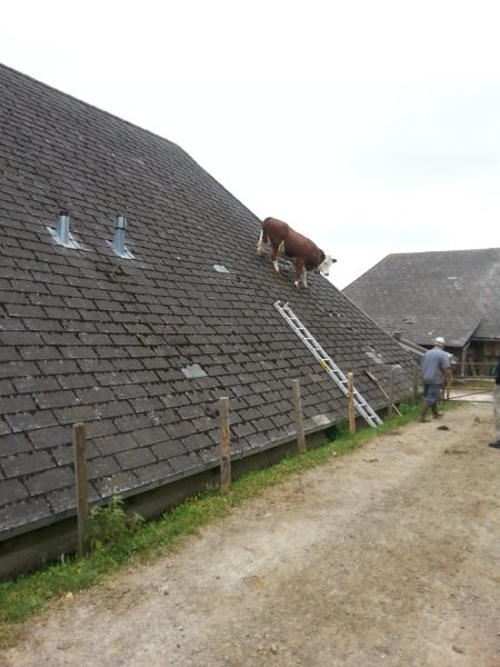 cow roof emmental switzerland june 16 2014, Now I better understand how this cow climbed up the roof... But still weird!, strange moment cow is photographed on roof in Switzerland june 2014, cow on roof, cow roof switzerland, cow roof emmental june 2014, weird animal picture, strange animal photo, weirdest animal news, strange animal photo: Cow on barn roof in Switzerland on June 16 2014, weirdest animal news: Cow on barn roof in Switzerland on June 16 2014, wtf: cow on roof in Switzerland june 2014, strangest animal location, weird animal things, strange animal behavior: WTF is this cow doing on a roof in Switzerland?, Weird Animal News: Cow on barn roof in Switzerland on June 16 2014
