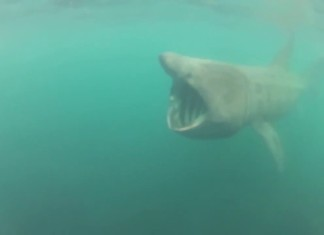basking shark Cornwall, This is the amazing moment Lew Smart experienced a very close encounter with a huge 15ft basking shark while enjoying the sun at Cornwall's remote Sennen Cove off the British coast., shark close encounter, shark video, shark close encounter video, basking shark video