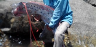 giant oarfish vietnam, giant oarfish caught in central vietnam, what an oarfish look like, what is an oarfish, fishermen catch giant oarfish in Vietnam May 2014, This giant sea serpent was caught from the shore by two fishermen in Vietnam