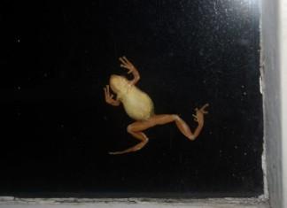 Tree frog, amazing moment frog eats big moth on window, moth vs frog video, small frog eats large moth video, huge moth vs frog video, best frog attack, best video frog hunt, frog hunts large moth on window, video of frog vs large moth, tiny frog hunts large moth on window, amazing video, best video, wtf video, surprising video, Tree frog climbs a window. Photo: canoecorner.blogspot.com