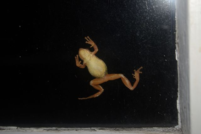 Tree frog, amazing moment frog eats big moth on window, moth vs frog video, small frog eats large moth video, huge moth vs frog video, best frog attack, best video frog hunt, frog hunts large moth on window, video of frog vs large moth, tiny frog hunts large moth on window, amazing video, best video, wtf video, surprising video, Tree frog climbs a window. Photo: canoecorner.blogspot.com