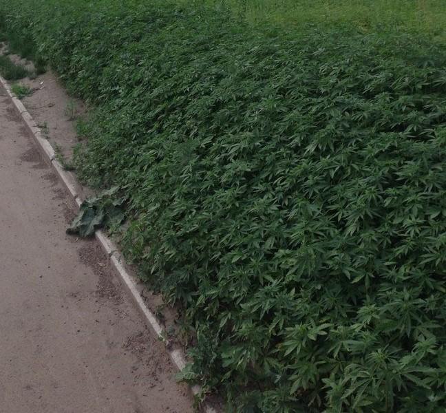 wrong type of weed (marijuana) in Krasnoyarsk, marijuana plants planted in wrong type of weed (marijuana) in Krasnoyarsk, wrong type of weed (marijuana) in Krasnoyarsk marijuana in streets, These marijuana plants were photographed in front of habitation buildings in Krasnoyarsk. Photo: English Russia