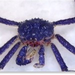 blue king crab photo, photo of blue king crab found in Alaska July 2014, video and photo rare blue-colored red king crab alaska july 2014, rare blue king crab july 2014 alaska, rare blue-colored red king crab, blue king crab, strange king crab blue, genetic mutation: blue king crab found in Alaska, alaska blue king crab july 2014, blue king crab found in Alaska july 2014, This rare blue-colored Alaskan red king crab was caught off the coast of X on July 4 2014. Photo: Youtube video