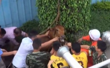 What is this weird noise coming from a drain? A large cow was rescued from a sewer in China. Photo: Youtube video, Unexpected: Cow rescued from sewer by firefighters in China (VIDEO). Photo: Youtube video, cow drain china video, cow stuck in drain in china, cow drain china video, cow rescued from sewer video, cow rescued from drain video, video cow sewer china video, Cow Rescue Video China Drain, Cow Rescue china video, Cow Stuck in Drain, Cow in Sewer Chinese