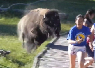 Furious bison charges children at Yellowstone National Park. Photo: Youtube video, Angry Bison Charges Boy In Yellowstone National Park (VIDEO), Bison Charges Boy In Yellowstone National Park (VIDEO), bison boy yellowstone, bison charges boy yellowstone video, video of bison charging small boy in Yellowstone, yelowstone bison attack video, video attack boy yellowstone video, video yellowstone bison attacks boy, bison attack yellowstone, video bison attack yellowstone, yellowstone bions attack video, bison charge boy yellowstone video, This is the terrifying moment when a young child is chased by an angry bison at Yellowstone National Park.