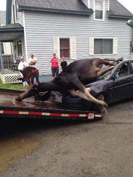 Moose collided with car in Northern Maine on July 3 2014. Photo: Ashley Stoddard, Moose collides car picture, moose vs car, A giant moose collided with car near Monson in Northern Maine on July 3 2014. Look at the insane pictures of this collision between a moose and a car, moose vs car photo july 2014, moose with car accident picture maine 2014, moose car accident photo maine 2014, Wildlife Accident: Insane Images Of Moose Colliding With Car Near Monson In Maine, Monson In Maine moose caraccident photo july 2014, photo of moose in car, moose vs car picture july 2014 photo, photo moose vs car maine july 2014 photo and pictures, moose vs car accident, wildlife accident: moose engulfs car in Maine july 2014, moose collides with car in Maine july 2014, moose car accident maine photo, photo moose car accident, car accident with moose maine 2014, This is how it looks like when a moose collides with a car! Terrible!, The collision between the giant moose and the car occurred near Monson, Maine. Photo:  Ashley Stoddard, The giant moose was extracted of the car after the collision! Huge animal! Photo: Ashley Stoddard