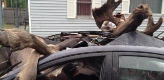 Moose collided with car in Northern Maine on July 3 2014. Photo: Ashley Stoddard, Moose collides car picture, moose vs car, moose vs car photo july 2014, moose with car accident picture maine 2014, moose car accident photo maine 2014, Wildlife Accident: Insane Images Of Moose Colliding With Car Near Monson In Maine, Monson In Maine moose caraccident photo july 2014, photo of moose in car, moose vs car picture july 2014 photo, photo moose vs car maine july 2014 photo and pictures, moose vs car accident, wildlife accident: moose engulfs car in Maine july 2014, moose collides with car in Maine july 2014, moose car accident maine photo, photo moose car accident, car accident with moose maine 2014, This is how it looks like when a moose collides with a car! Terrible!