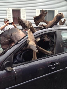 The collision between the giant moose and the caroccurred near Monson, Maine. Photo:  Ashley Stoddard, Moose collided with car in Northern Maine on July 3 2014. Photo: Ashley Stoddard, Moose collides car picture, moose vs car, moose vs car photo july 2014, moose with car accident picture maine 2014, moose car accident photo maine 2014, Wildlife Accident: Insane Images Of Moose Colliding With Car Near Monson In Maine, Monson In Maine moose caraccident photo july 2014, photo of moose in car, moose vs car picture july 2014 photo, photo moose vs car maine july 2014 photo and pictures, moose vs car accident, wildlife accident: moose engulfs car in Maine july 2014, moose collides with car in Maine july 2014, moose car accident maine photo, photo moose car accident, car accident with moose maine 2014, This is how it looks like when a moose collides with a car! Terrible!