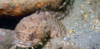 humming noise, strangest fish sex calls, strangest sex calls animal, sex calls humming sound, strange sounds news, news about strange sounds, mysterious strange sounds, mystery sex calls of taodfish, strange sounds: Oyster toadfish: Plainfin Midshipman Sex calls annoy residents of Pacific Grove, weird noise: humming sound of toadfish, toadfish humming sound, Oyster toadfish: Plainfin Midshipman Sex calls annoy residents of Pacific Grove