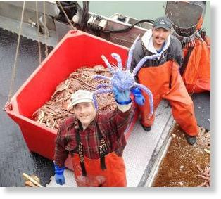 Alaskan Fishermen discovered this unique blue king crab in their pit on July 4 2014, blue king crab photo, photo of blue king crab found in Alaska July 2014, video and photo rare blue-colored red king crab alaska july 2014, rare blue king crab july 2014 alaska, rare blue-colored red king crab, blue king crab, strange king crab blue, genetic mutation: blue king crab found in Alaska, alaska blue king crab july 2014, blue king crab found in Alaska july 2014, This rare blue-colored Alaskan red king crab was caught off the coast of X on July 4 2014. Photo: Youtube video