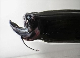 The mysterious Photonectes deep sea fish... Looks terrifying!, Photonectes, Photonectes stranding japan 2014, sign of imminent nature catastrophe: deep sea fish in shallow water around japan july 2014, deep sea fish, deep sea fish shallow water japan, japan catastrophe, japan deep sea fish july 2014, japan deep sea fish shallow water july 2014, Over 100 Photonectes deep sea fish were caught in shallow water off Japan coast on July 2014. A sign for the July 13th earthquake?, Was it a sign for the July 13, 2014 earthquake? Reading sign before Japan earthquake in July 2014!