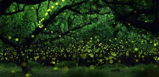 Firefly communication: Lightning bugs communicate with their language of light. Photo: Yume Cyan, firefly communication, firefly, firefly language, what is a firefly, firefly communication, firefly language of light, how do firefly communicate, why are firefly glowing, meaning of firefly lights, firefly glowing colors, why do firefly glow?, firefly communication video, this is how firefly communicate, firefly use lights to communicate, better understand fireflies, Discover the still unknown language of light spoken by fireflies in this amazing video.