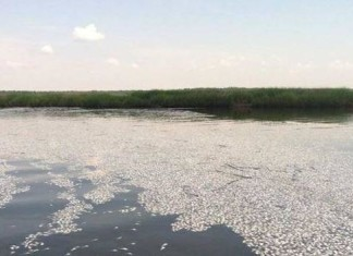 fish die-off, us fish die-off june 2014, south carolina fish die-off winyah bay june 2014, apocalyptic fish die-off winyah bay south carolina photo video june 2014, At least a Million dead fish found in Georgetown County, fish dead south carolina june 2014, amazing fish mass die-off june 2014, fish die-off usa june 2014, apocalyptic fish mass die-off south carolina june 2014, apocalypse fish kill georgetown june 2014, fish mass die-off south carolina june 28 2014, fish kill south carolina june 2014, fish mass die-off Winyah Bay in Georgetown, Millions of dead fish cover the banks and water ways of the Winyah Bay in Georgetown County. Photo: WBTW