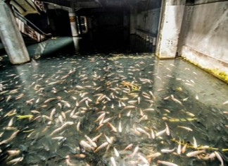 New World abandoned mall in Bangkok, fish in New World abandoned mall in Bangkok video, fish in New World abandoned mall in Bangkok video, video of fish swimming in New World abandoned mall in Bangkok, New World abandoned mall in Bangkok is flooded and full of fish, fish swimm in New World abandoned mall in Bangkok, bangkok fish abandoned mall, fish swimm in abandoned mall in bangkok, Fish Swim Through Abandoned Bangkok Shopping Mall, Fish Swim Through Abandoned Bangkok Shopping Mall video, video of Fish Swim Through Abandoned Bangkok Shopping Mall, The Abandoned Fish Mall, fish swimming in abandoned mall, This is the ugly ourside of the New World abandoned mall in Bangkok. Photo: Reddit, Here a zoom on the koi fish that were introduced in the mosquito-infested water to prevent deseases. Photo: Daily Mail