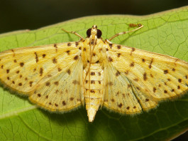 strange animal behavior: Male Yellow Peach Moth song, strange Male Yellow Peach Moth song, recordings of strange Male Yellow Peach Moth melody, double melody for Male Yellow Peach Moth, Male Yellow Peach Moth Uses Its Songs To Both Woo And Repel, animal melody, strange animal songs: Male Yellow Peach Moth Uses Its Songs To Both Woo And Repel, amazing animal songs: Male Yellow Peach Moth Uses Its Songs To Both Woo And Repel, Male Yellow Peach Moth Uses Its Songs, Animal Melody: Male Yellow Peach Moth Uses Its Songs To Both Woo And Repel, double use of melody for Male Yellow Peach Moth, Male Yellow Peach Moth has a melody combination to repel predators and attract female