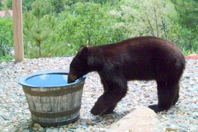 mystery of missing water solved, tranding story: mystery of missing water solved, where is my water?, strange and weird stories, baffling stories of bears, weird stories about bears, strange animal tales and story, animal tales and story, mystery bears, Actually, it is a bear to blame for the mystery of missing water. Photo: ralph metzner