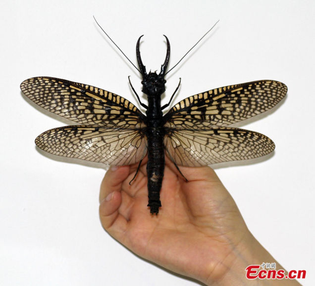 largest aquatic insect in the world photo and video, largest aquatic insect photo, photo of world largest aquatic insect, world largest aquatic insect china, largest aquatic insect discovered in the world in china, largest aquatic insect in the world photo and video, world's largest aquatic insect china, largest aquatic insect in the world, giant aquatic insect china, largest insect in the world discovered in china, largest aquatic insect photo,  The world's largest aquatic insect found in Sichuan (China)