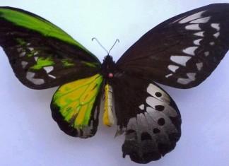 genetic disorder, Half female Half male, Half female, Half male: Perfect bilateral gynandromorphism as seen by birds., Rare genetic disorder Bilateral gynandromorphism, Half female, Half male: Perfect bilateral gynandromorphism as seen by a butterfly