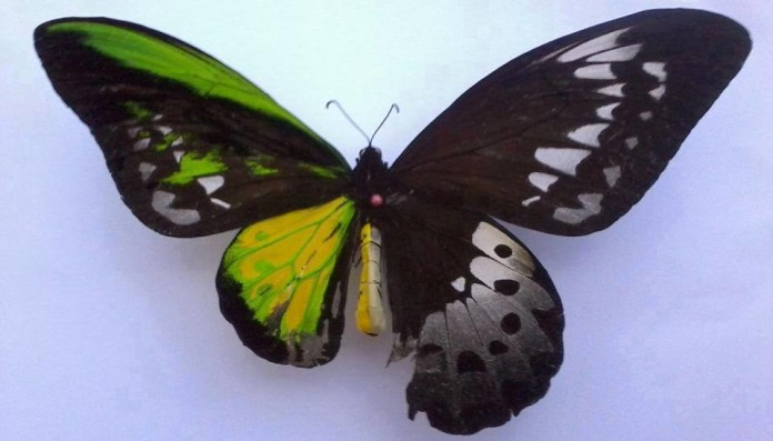 genetic disorder, Half female Half male, Half female, Half male: Perfect bilateral gynandromorphism as seen by birds., Rare genetic disorder Bilateral gynandromorphism, Half female, Half male: Perfect bilateral gynandromorphism as seen by a butterfly