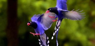 Taiwan Blue Magpie, Taiwan Blue Magpie photo, Taiwan Blue Magpie picture, image of Taiwan Blue Magpie, national bird of taiwan, taiwan national bird, Two amazing Taiwan blue magpie flying together!