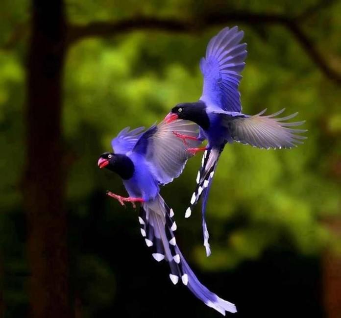 Taiwan Blue Magpie, Taiwan Blue Magpie photo, Taiwan Blue Magpie picture, image of Taiwan Blue Magpie, national bird of taiwan, taiwan national bird, Two amazing Taiwan blue magpie flying together!