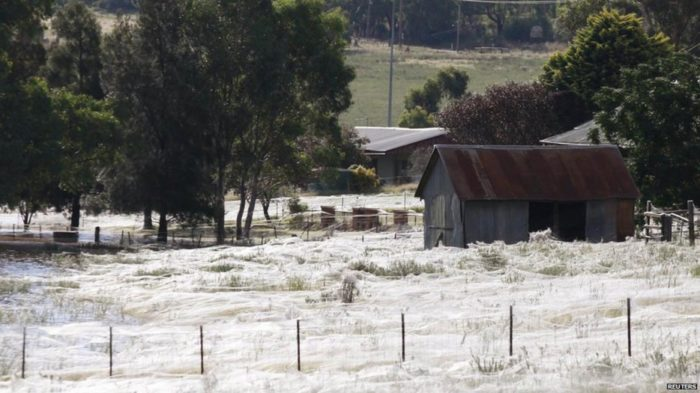 spider webs, spider webs picture, amazing phenomena: spider web covering fields, spider webs covering fields, spider webs over fields, spider webs cover fields after flooding, spider web photo, Fields of Webs (Fields of Nope)