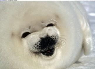 baby seal, seal pup, baby seal photo, seal pup photo, best baby seal photo, seal photo, A smiling baby seal or pup photo, photo of A smiling baby seal or pup, A smiling baby seal or pup!