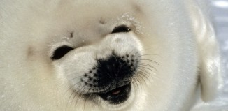 baby seal, seal pup, baby seal photo, seal pup photo, best baby seal photo, seal photo, A smiling baby seal or pup photo, photo of A smiling baby seal or pup, A smiling baby seal or pup!